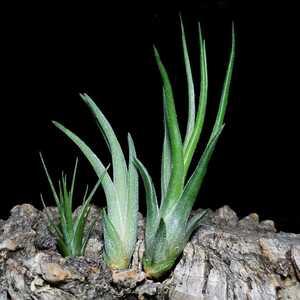 Tillandsia ionantha系交配 3種セット エアープランツ チランジア