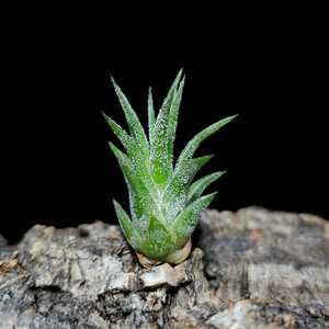 Tillandsia ionantha 'Special' エアープランツ チランジア B