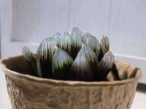 【 ハオルチア 】ハオルチア ブラックオブツーサ 多肉植物 Haworthia ハオルシア