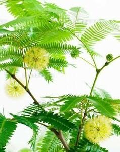 【挿し木用】エバーフレッシュ 枝葉