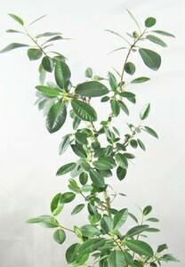 【挿し木用】フランスゴムの木 枝葉