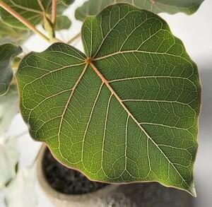 【挿し木用】フィカス ペティオラティス 枝葉