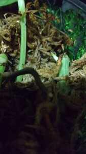 フィロデンドロン ホワイトフォレスト 茎