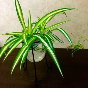 観葉植物 オリヅルラン 親子セット