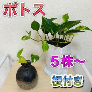 ポトス 斑入り 水耕栽培 発根苗 5株 ゴールデンポトス 観葉植物 斑模様 根付き