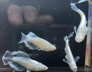 鱗光ロングフィンモルフォF3垂水様血統個体鱗フォめだかの有精卵 15個+α