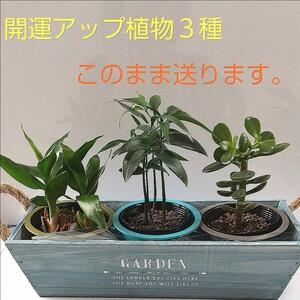 開運アップ植物3種
