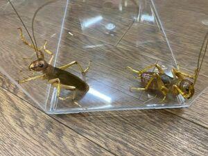 メス単品・NO3 リオック・幼虫・オバケコロギス約♂50ミリ・昆虫販売アリスト・1円