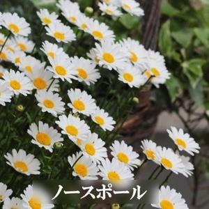 秋まき 花の種 ノースポール 50粒 一年草
