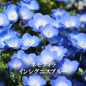 今がまき時 花の種 ネモフィラ・インシグニスブルー 50粒 一年草