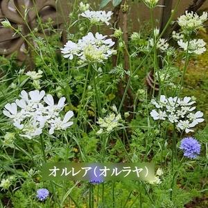 今がまき時 花の種 オルレア(オルラヤ) 50粒 一年草