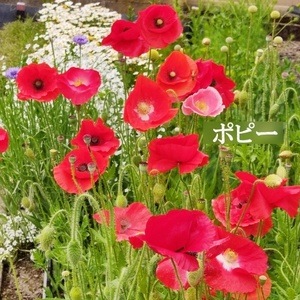 今がまき時 花の種 ポピー混合(赤系)100粒 一年草 初心者向き