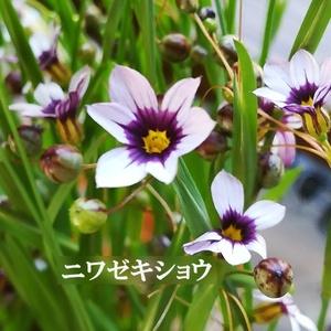 今がまき時 花の種 ニワゼキショウ 50粒 多年草