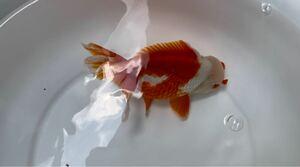 更紗花房ショートテールオランダ 約16~18cm 中国産明け3歳
