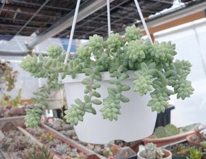 ビアポップ 5センチ 2カット カット苗 多肉植物 寄せ植え サボテン