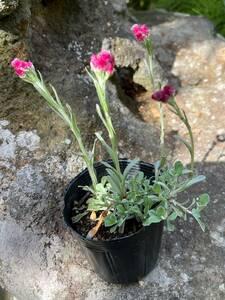 山野草 苗 紅花エゾノチチコグサ 1ポット