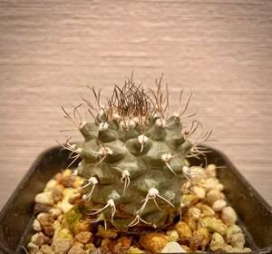 【ツルビニカルプス スワボダエ 種子10粒】サボテン 多肉植物