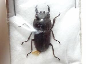 標本 クワガタの一種 [送料210~] 昆虫標本 クワガタ