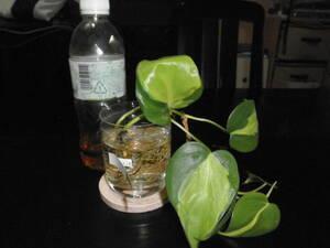 フィロデンドロン オキシカルジウム バリエガータ 切苗 水栽培 室内園芸 観葉植物 ①