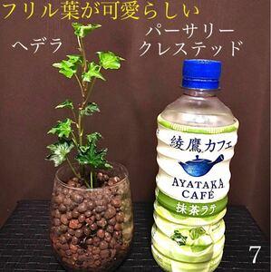 【7】フリル葉が可愛らしいへデラ パーサリークレステッド 安心根張り苗 抜き苗