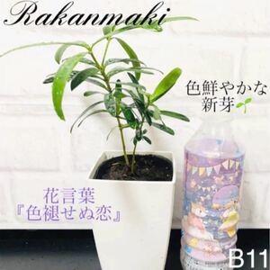 【B11】縁起の良い木 ラカンマキ(中) 花言葉『色褪せぬ恋』抜き苗