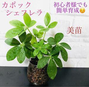 美苗 色鮮やかな新芽が成長中 初心者様でも簡単育成 カポック シェフレラ