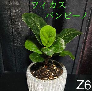 【Z6】フィカス・バンビーノ カシワバゴムの木 色鮮やかな新芽成長中 抜き苗