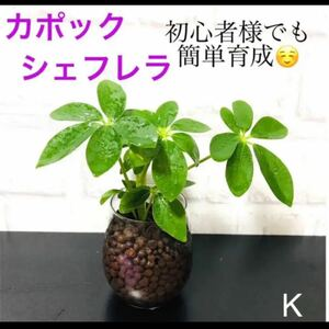 【K】色鮮やかな新芽が成長中 初心者様でも簡単育成 カポック 抜き苗