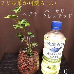 【6】フリル葉が可愛らしいへデラ パーサリークレステッド 安心根張り苗 抜き苗