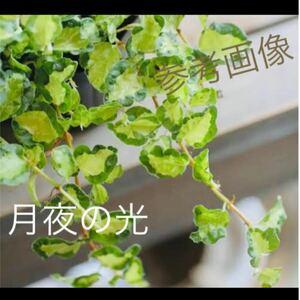人気の斑入りフリル葉 フィカスプミラ ムーンライト 月夜の光 抜き苗