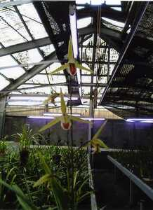 * cold orchid Kochi prefecture four ten thousand 10 city west earth . production ( orchid . adjustment goods ) B-49