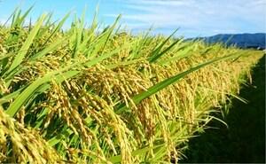 《新米》 令和3年 新潟県 佐渡産コシヒカリ 中米 25kg 特別栽培米