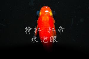 一石三鳥!超激レア珍品種!【極上屋】 特紅 紅帝 水泡眼 めだか ショート系 有精卵15個+α 卵