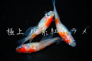 まるで錦鯉?【極上屋】 斑系 紅白ラメ めだか 有精卵15個+α 卵