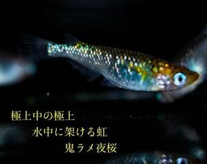 【極上屋】水中に架ける虹 鬼ラメ夜桜めだか 有精卵15個+α 卵