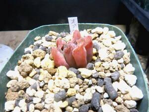 多肉植物 ハオルチア オブツーサ錦
