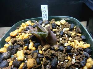 多肉植物 ハオルチア マヤ錦