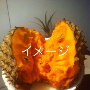 ☆★最新フルーツ★☆ ソンコヤ苗木 取木苗 1本 送料込み 激レア!!!