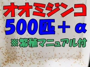【☆匿名配送☆オオミジンコ(ダフニアマグナ)500匹+α+繁殖マニュアル ※死着保証有 熱帯魚 金魚 メダカ の餌 稚魚育成に】