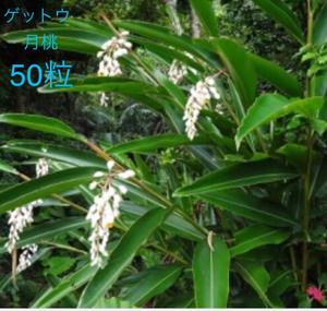 月桃 . げっとう !(ハーブ系)種子 50粒