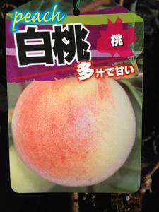 多汁甘~いモモ苗木 白桃(もも)接木苗木