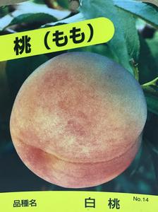 白桃(もも)苗木