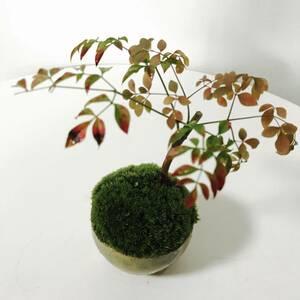 ミニ南天の苔玉盆栽(信楽焼植木鉢付き)