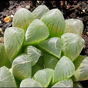 多肉植物 レア ハオルチアv クーペリ フィリフェラ 斑入り 種 5粒