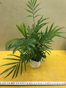 ヤシの木鉢植え1鉢