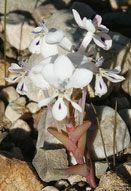 ラペイロージア・ピラミダリス 種子 5 粒