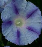 朝顔 ダカーポライトブルー  種子 5 seed
