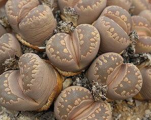 リトープス 大津絵 種子 5 seed