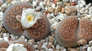 リトープス 巴里玉 種子 5 seed