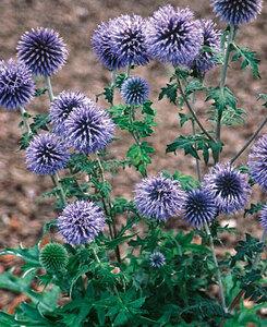 ルリタマアザミ (瑠璃玉薊) 種子 5 seed